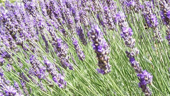 Simple Ways to Improve Your Immune Function like Lavender oil