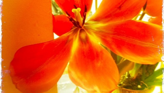 Barbara Sinclair The Month of Yes You May! Orange Tulip