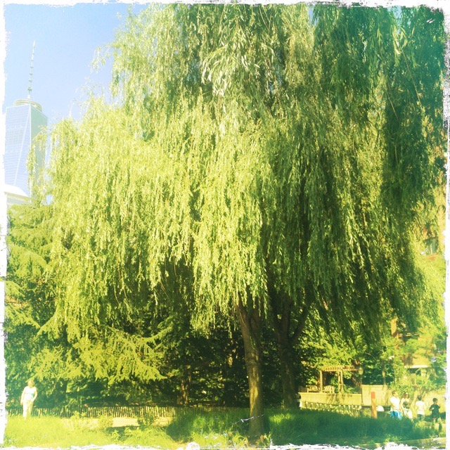 Weeping Willow, photo by Barbara Sinclair