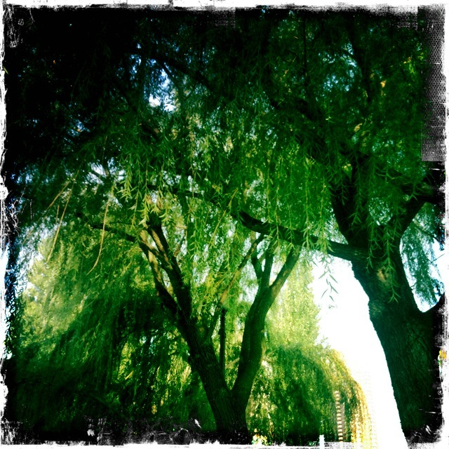 willows1