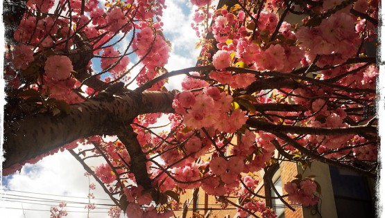 Cherry Tree Mother nature Ayurveda Holistic Health and Healing