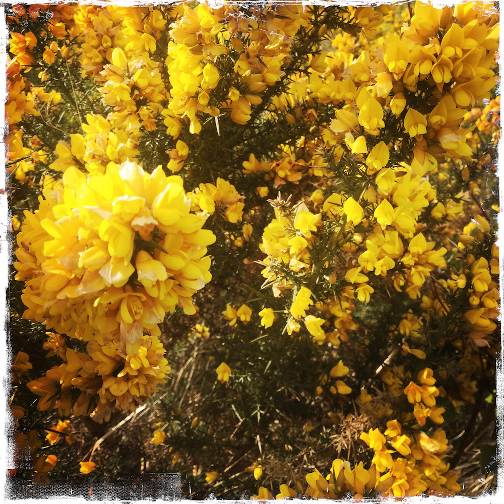 Gorse, aka Whin dots the landscape everywhere