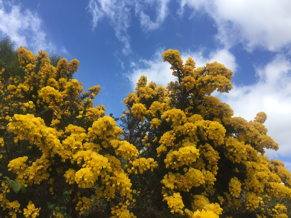 Gorse, aka Whin, dots the Scottish countryside