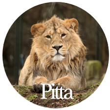 Pitta Dosha is like a lion. Barbara Sinclair Health & Holistic Healing
