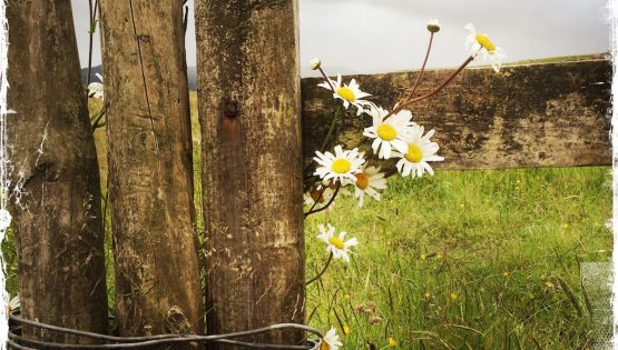 Daisies in Irish Countryside. Photo by Barbara Sinclair