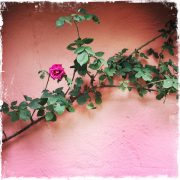 Pink Cottage Wall in Ireland by Barbara Sinclair