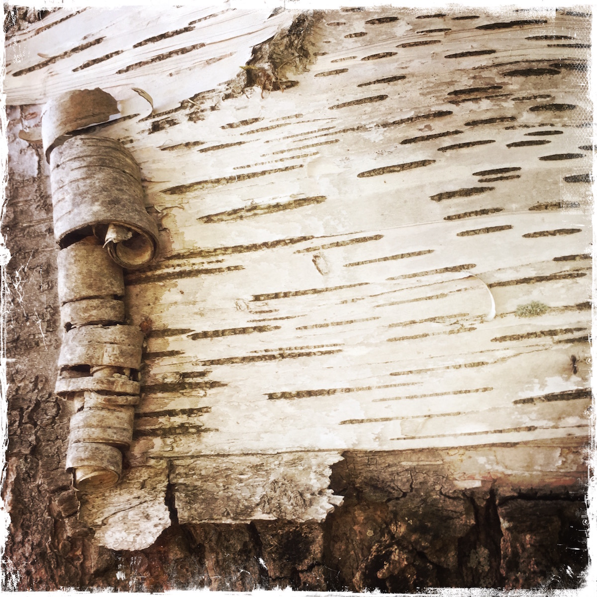 Detail of birch bark. Northern Michigan. Photo by Barbara Sinclair