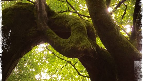 Dragon-like tree deep in Hazelwood Forest in Ireland. Photo by Barbara Sinclair