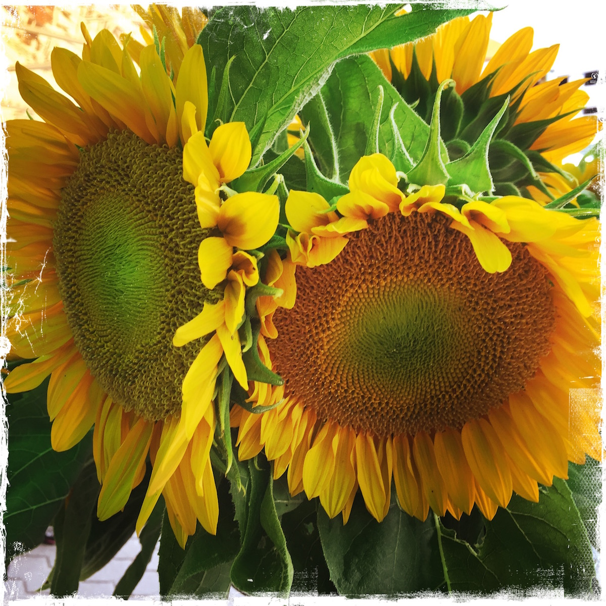 Giant sunflowers from farmer's market. Photo by Barbara Sinclair