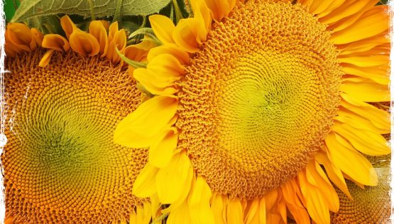 Sunflowers from farmer's market. Photo by Barbara Sinclair