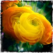 Yellow Ranunculus Note Card, photo by Barbara Sinclair