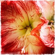 Pink Amaryllis by Barbara Sinclair