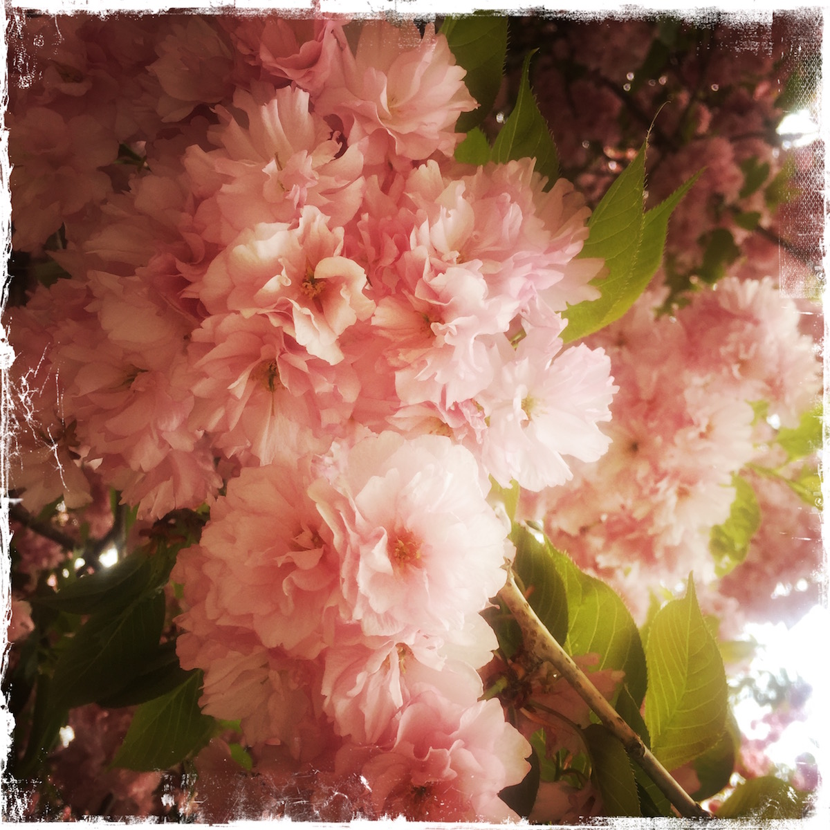 Cherry Blossoms Note Card, Photo by Barbara Sinclair