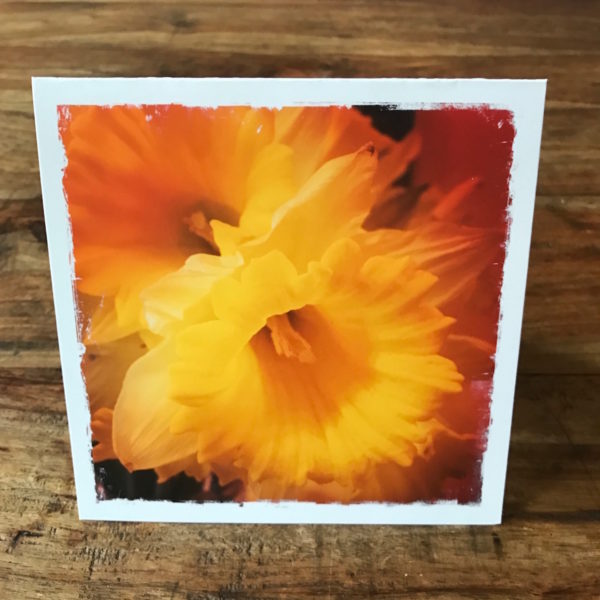 Daffodils Note Card, Photo by Barbara Sinclair