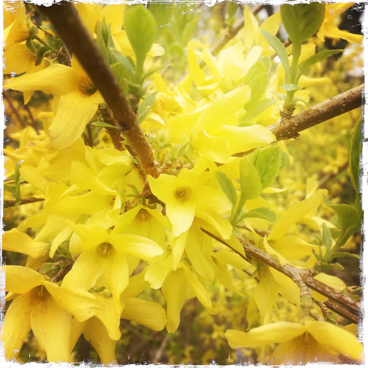 Forsythia Note Card, Photo by Barbara Sinclair