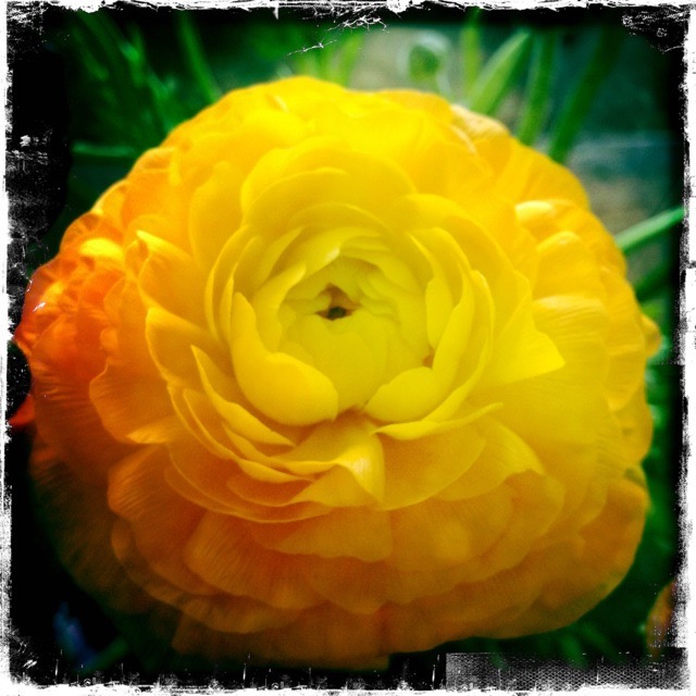 Goldenrod Ranunculus Note Card, Photo by Barbara Sinclair