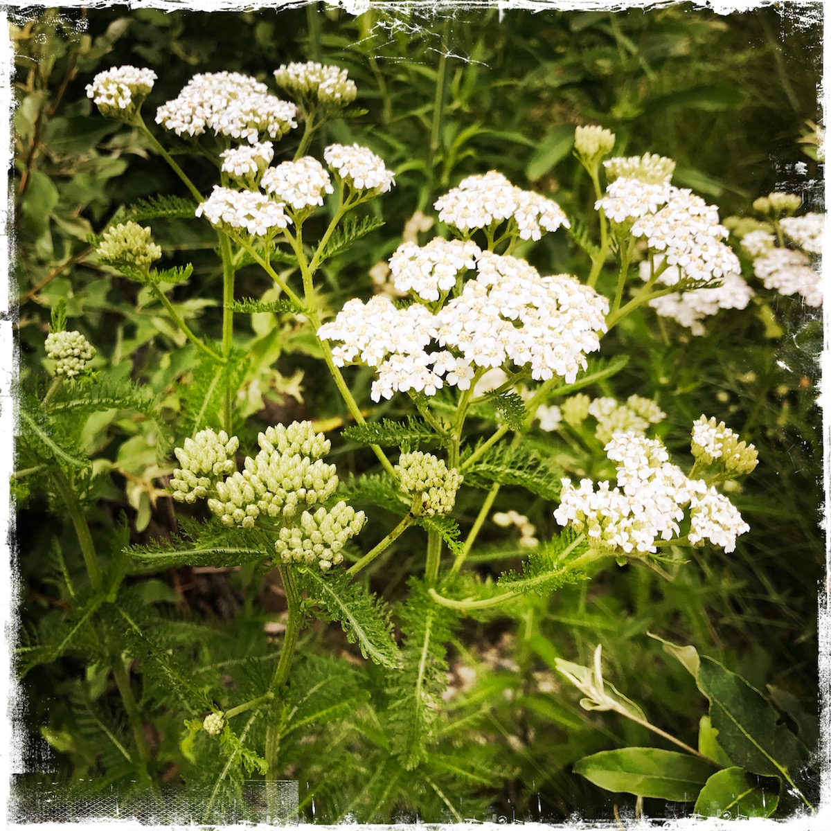 Falling in Love with Yarrow, Barbara Sinclair Holistic Health and Healing