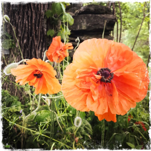 Poppies Note Card, Photo by Barbara Sinclair