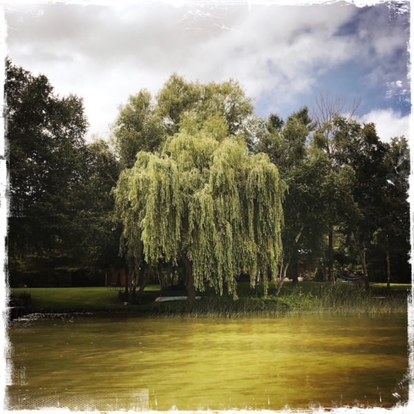 Willow, Lake Leelanau, Northern MichiganPhoto by Barbara Sinclair