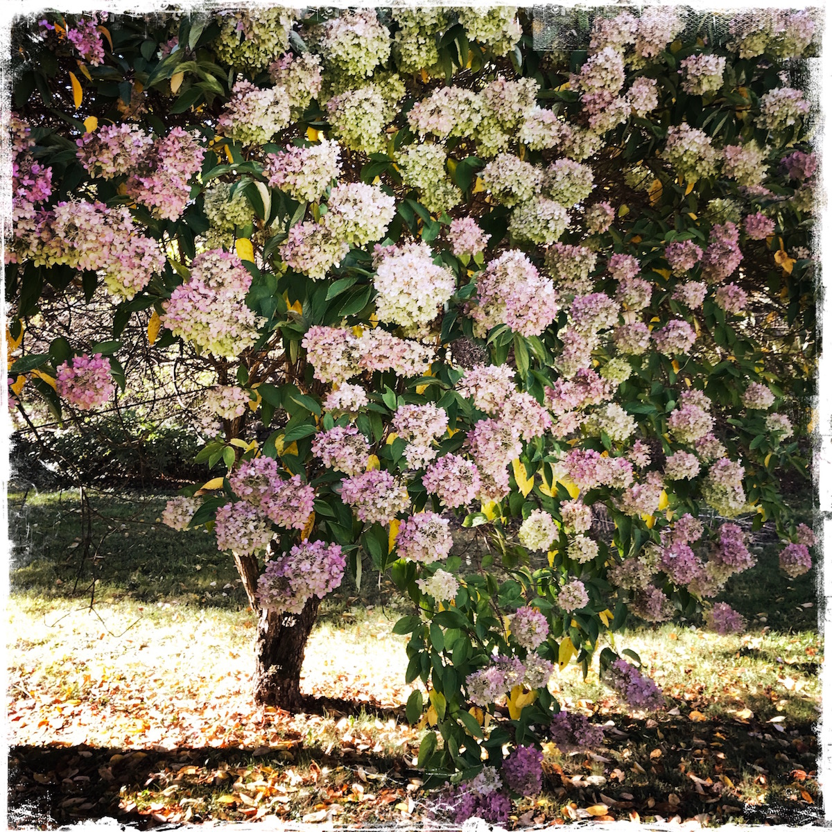 Pink Hydrangea Tree, photo by Barbara Sinclair