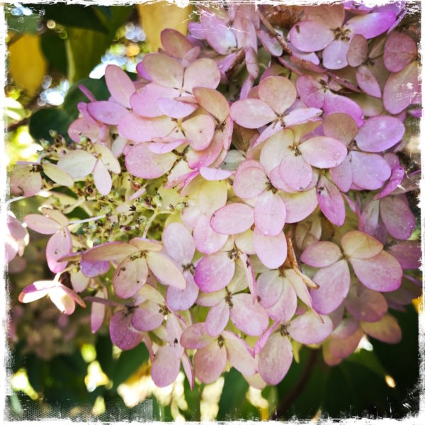 Pink Hydrangea Note Card, Photo by Barbara Sinclair