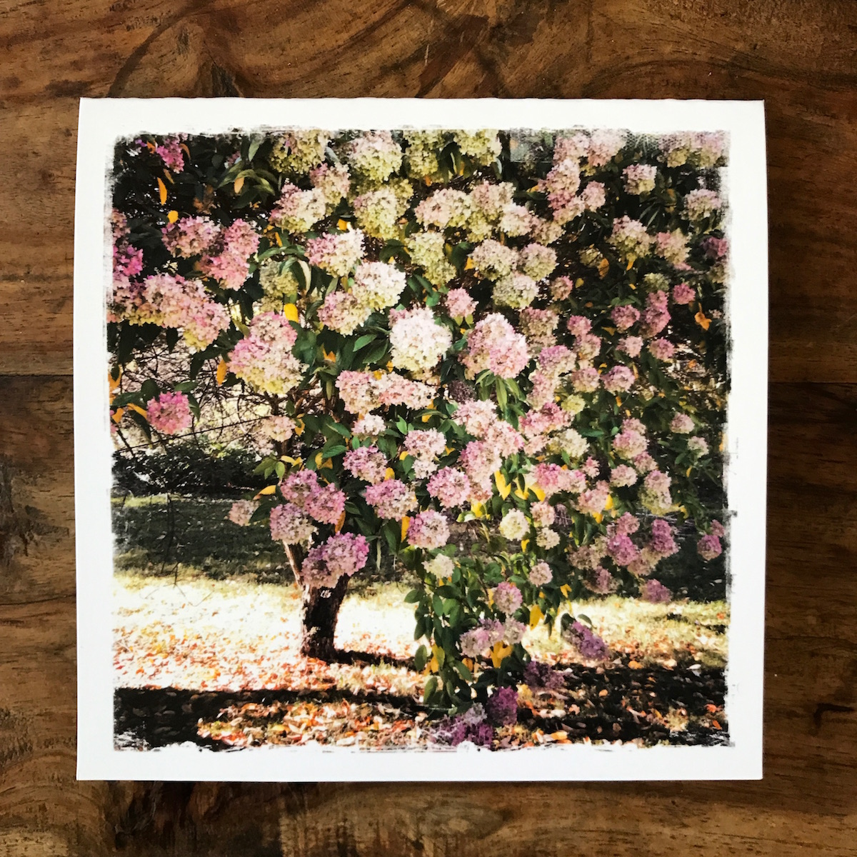 Pink Hydrangea Tree Note Card, photo by Barbara Sinclair