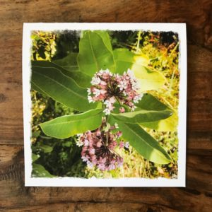 Milkweed in the Catskills Note Card, photo by Barbara Sinclair