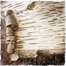 Birch Beauty Note Card, photo by Barbara Sinclair
