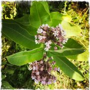 Milkweed in the Catskills, photo by Barbara Sinclair
