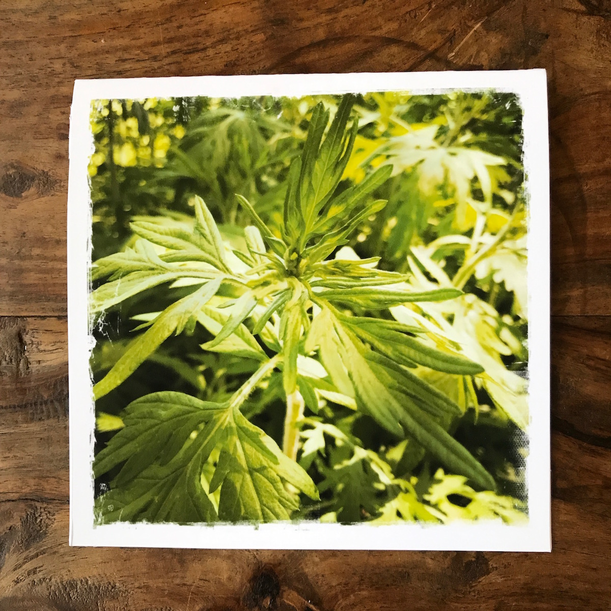 Mugwort Note Card, photo by Barbara Sinclair