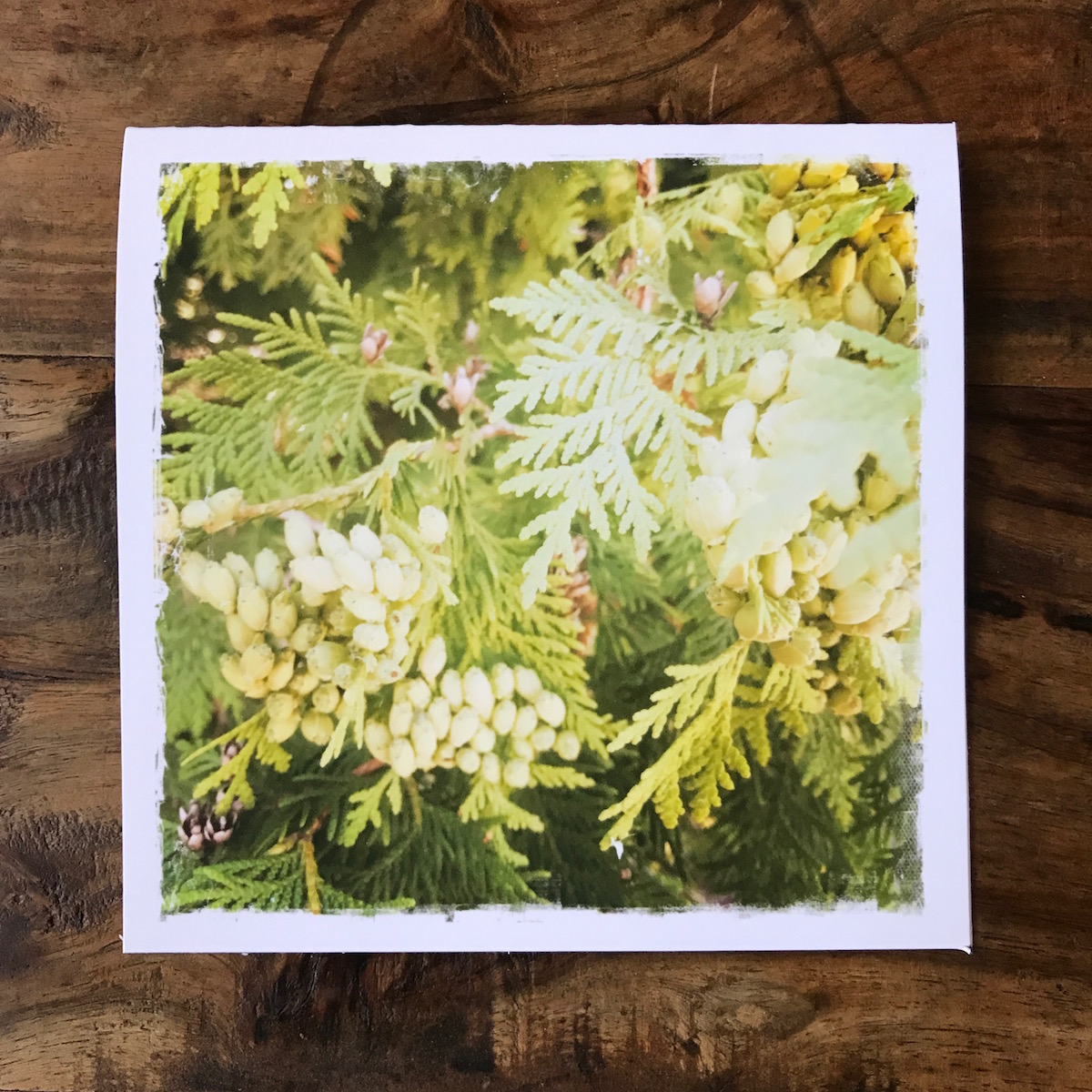 Thuja in Northern Michigan Note Card, photo by Barbara Sinclair