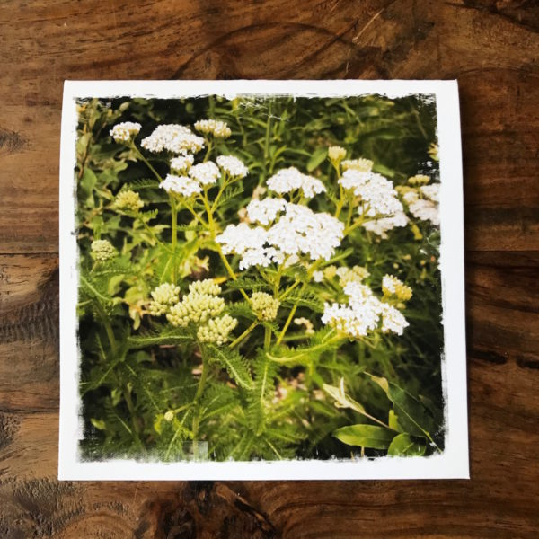 Yarrow in the Catskills Note Card, photo by Barbara Sinclair